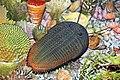 Diorama of a Devonian seafloor - trilobite, corals, brachiopods, algae (30717351257).jpg