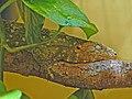 Diplodactylidae - Rhacodactylus leachianus.JPG
