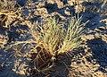 Distichlis spicata kz2.jpg