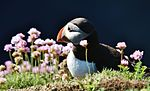 Distracted Puffin IMG 0513 (14313270177).jpg
