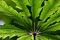 Dizygotheca elegantissima (12).jpg