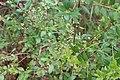 Doerun Pitcherplant Bog honeysuckle.jpg