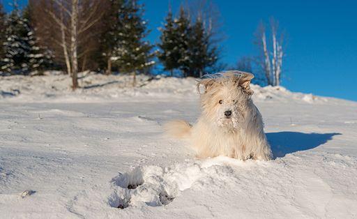 Dog at Pokljuka Cold Weather Prevents Walking The Dog