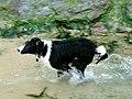 Dog on beach (278547511).jpg