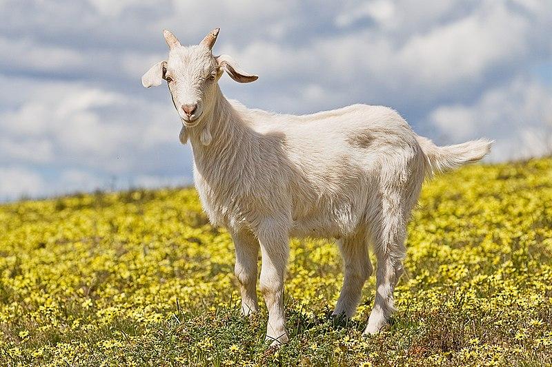 -بزکوهی-www.nexusgallery.mihanblog.com-File:Domestic goat kid in capeweed.jpg