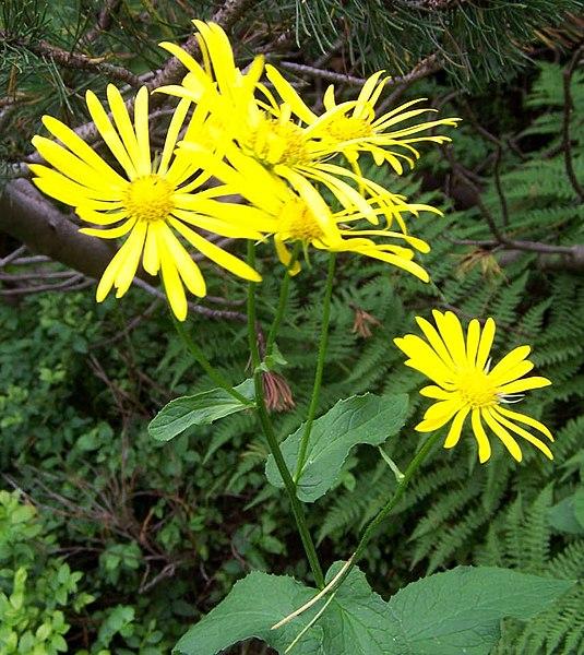 File:Doronicum austriacum a3.jpg