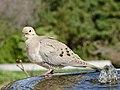 Dove (47458285191).jpg