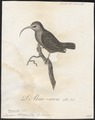 Drepanis ellisiana - 1802 - Print - Iconographia Zoologica - Special Collections University of Amsterdam - UBA01 IZ19000241.tif