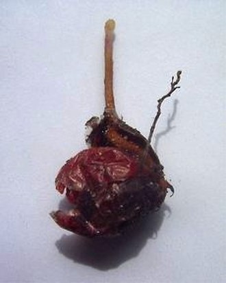 Drosera - A tuber of D. zonaria, a tuberous sundew, beginning its winter growth