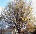 Drzewo Derenia Jadalnego.jpg
