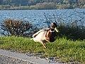 Duck (105612693).jpeg