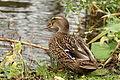Duck (4148788354) (2).jpg