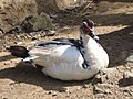 Duck - panoramio.jpg