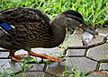Duck eating a Fish (5979923772).jpg