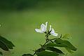 Dwarf White Bauhinia Bauhinia acuminata0164.JPG