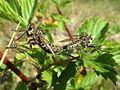 Dysmachus trigonus (Asilidae sp.), Molenhoek, the Netherlands.jpg