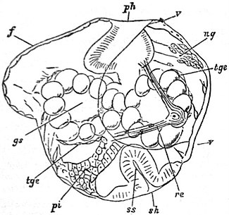 EB1911 Gastropoda - Embryo of Limnaeus stagnalis.jpg