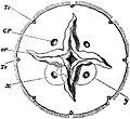 EB1911 Scyphomedusae - Aurelia aurita - Subumbrella.jpg