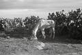 ETH-BIB-Ein Pferd vor Kakteen-Nordafrikaflug 1932-LBS MH02-13-0168.tif
