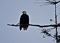 Eagle (28797936956).jpg
