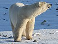 Earring the polar bear (6377484231).jpg
