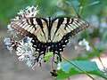 Eastern Tiger Swallowtail (28981372896).jpg