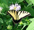 Eastern Tiger Swallowtail (Papilio glaucus) (6009866068).jpg