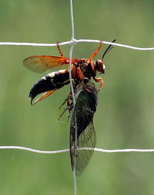 Eastern cicada killer wasp (Sphecius speciosus) with Cicada