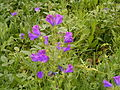 Echium plantagineum (Santa Cruz) 02 ies.jpg
