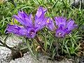 Edraianthus graminifolius 3.JPG