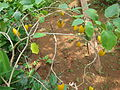 Egg Plant - വഴുതന 04.JPG