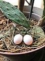 Eggs of Dove.jpg