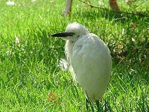 A Cattle Egret at the Jerusalem Biblical Zoo