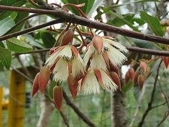 Elaeocarpus - Elaeocarpus grandiflorus flowers, at Munnar
