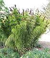 Elegia capensis - Mendocino Coast Botanical Gardens - DSC02007.JPG