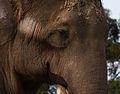 Elephant Face (4248728789).jpg