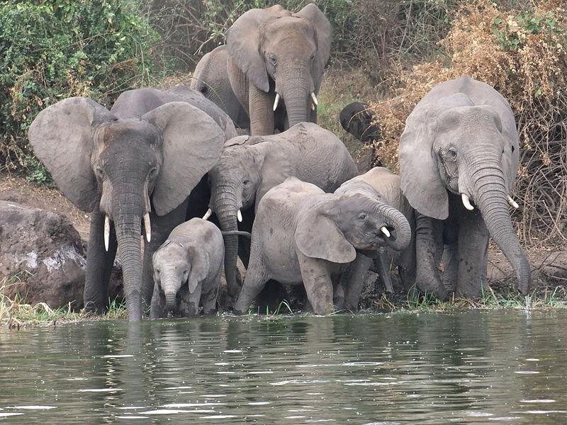 Datei:Elephants-kazinga.jpg