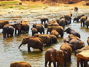 Elephants in Pinnawala