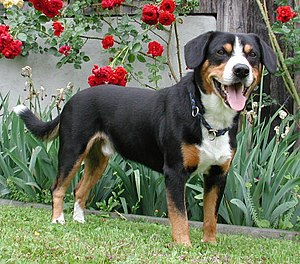 Entlebucher Mountain Dog - Entlebucher Sennenhund