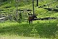 Elk in Banff.jpg