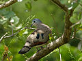 Emerald-spotted Wood-dove (Turtur chalcospilos) (13971400483).jpg