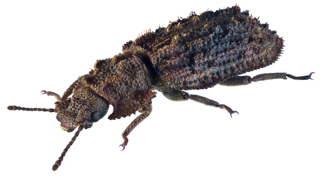 Family: Colydiidae Size: 6,6 mm (4,0 to 7,0 mm) Origin: South Europe, Southeast Europe Ecology: on dry leaves wood under moss, lichen and bark Location: France, Corsica, Bastia, 10 km S Moriani leg. Bayer, 20.VIII.1998; det. Schuh, 2004 Photo: U.Schmidt, 2015