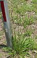English Plantain, Narrowleaf Plantain (Plantago lanceolata) - Flickr - Jay Sturner.jpg