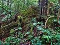 Enormes raíces de árboles antiguos en la selva cruceña.jpg