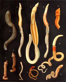 a pinwormok enterobiasisot okoznak