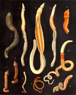 Acorn worm class of hemichordates