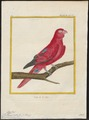 Eos rubra - 1700-1880 - Print - Iconographia Zoologica - Special Collections University of Amsterdam - UBA01 IZ18500318.tif