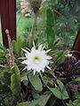 Epiphyllum crenatum 'Cooperi' (3773320422).jpg