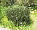 Equisetum hyemale 2.jpg
