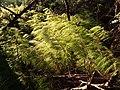 Equisetum sylvaticum sl2.jpg